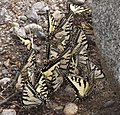 Canadian Tiger Swallowtails (26765473770).jpg