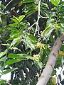 Cananga odorata-3-papanasam-tirunelveli-India.jpg