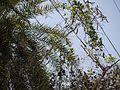 Canavalia gladiata (5486231466).jpg