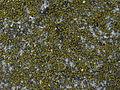 Candelariella aurella 147756.jpg