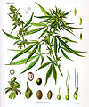 Cannabis sativa Koehler drawing.jpg