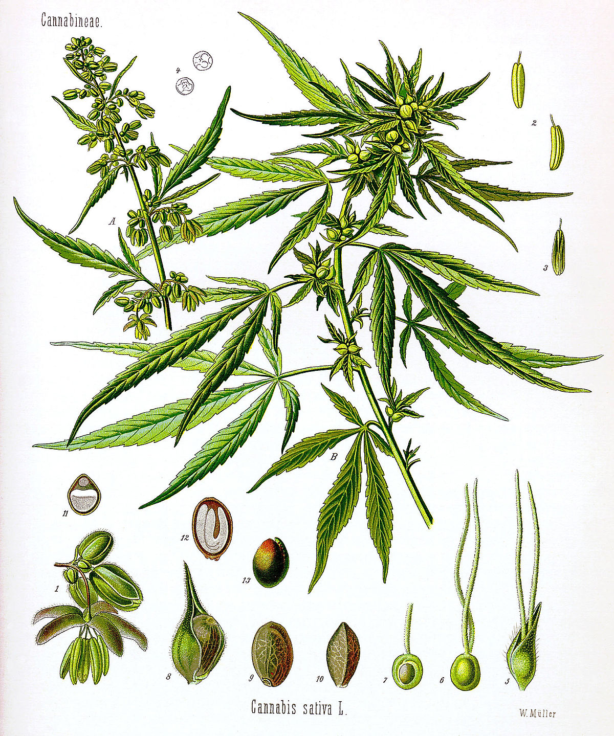 Cannabis - Wikipedia