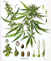 Cannabis sativa, scientific drawing.