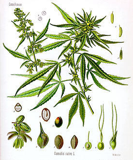common hemp