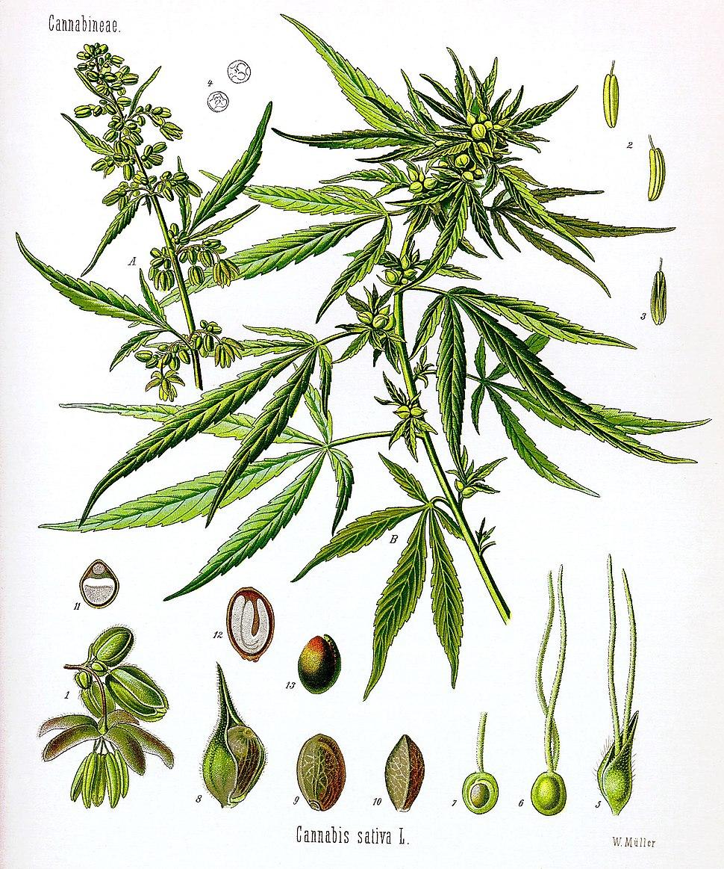 Cannabis sativa Koehler drawing