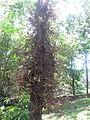 Cannon Ball Tree - നാഗലിംഗ മരം - 008.JPG