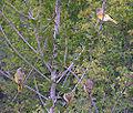 Cape Canaries.jpg