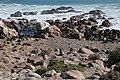 Cape fur seal (Arctocephalus pusillus pusillus) (37434682971).jpg