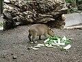 Capybara Zoo Zurich.JPG