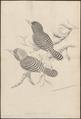 Carcineutes amabilis - 1700-1880 - Print - Iconographia Zoologica - Special Collections University of Amsterdam - UBA01 IZ16800073.tif
