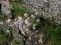 Cardaminopsis arenosa 01.jpg