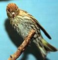 Carduelis pinus 4zz.jpg
