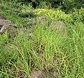 Carex aquatilis plant (01).jpg