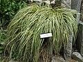 Carex hachijoensis 'Evergold'1.jpg