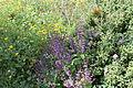 Carmel Flora - Hai-Bar Nature Reserve IMG 0781.JPG