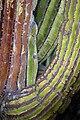 Carnegiea gigantea Sonora.jpg