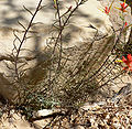 Castilleja linariifolia 6.jpg