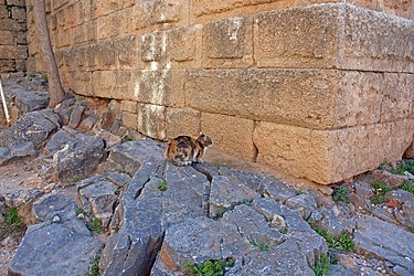 Cat near stoa on acropolis of Lindos.jpg