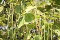 Catalpa speciosa - Severna katalpa (4)54.jpg