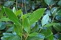 Catha edulis kz02.jpg