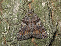Catocala sponsa on tree 2008.JPG