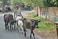Cattlewoman with Cows - Chaulkhola-Mandarmani Road - East Midnapore 2015-05-02 8982.JPG