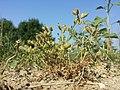 Caucalis platycarpos subsp. platycarpos sl23.jpg