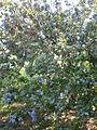 Ceanothus arboreus 1c.JPG