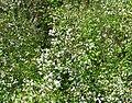 Ceanothus sorediatus 1.jpg