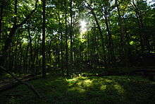 The sun shines through a green canopy of beech trees
