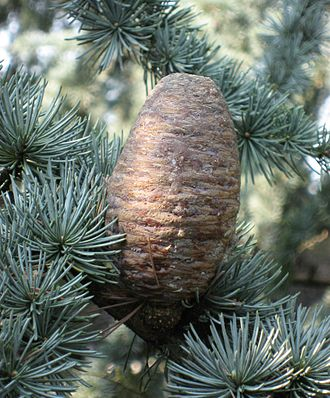 Cedrus atlantica - Cedrus atlantica foliage and mature female cone