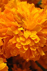Day of the dead wikipedia mexican cempaschil marigold is the traditional flower used to honor the dead mightylinksfo