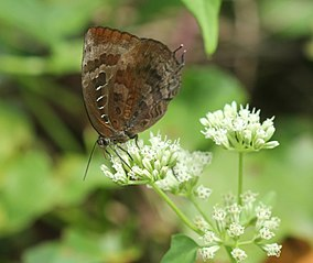 Centaur Oakblue andamans at Mt Harriet National Park.jpg