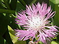 Centaurea pulcherrima0.jpg