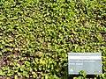 Centella asiatica - Jardim Botânico de Brasília - DSC09667.JPG