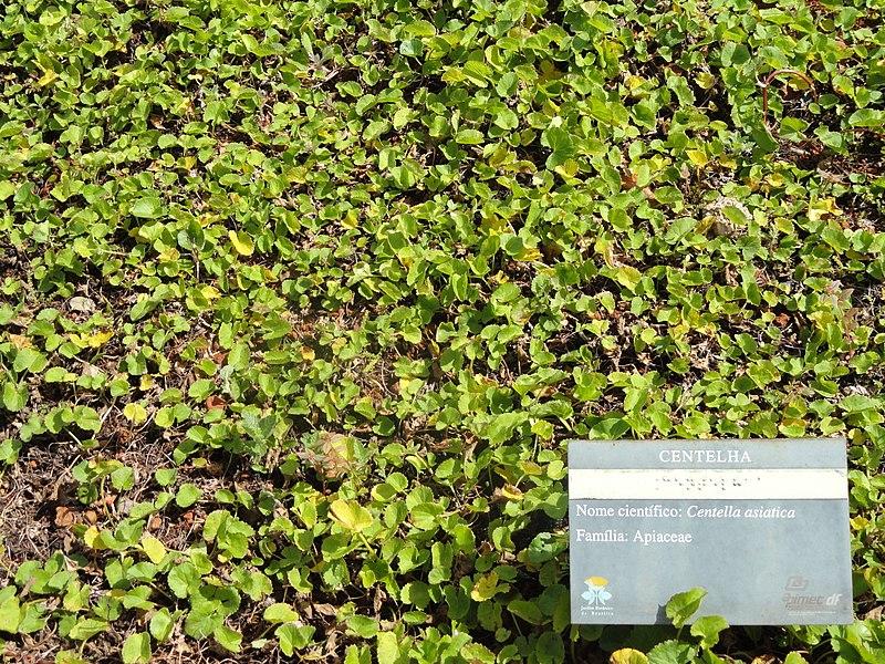 Centella asiatica выращивание 90
