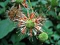 Cephalanthus occidentalis Guzikowiec zachodni 2007-08-11 02.jpg