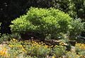 Cephalanthus occidentalis cal poppies.jpg