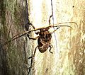 Cerambycidae. (Long horned beetle^) or Flat faced longhorn (Lamiinae) - Flickr - gailhampshire.jpg
