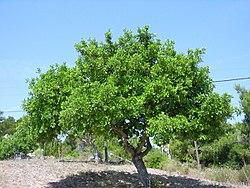 Ceratonia siliqua, total.jpg