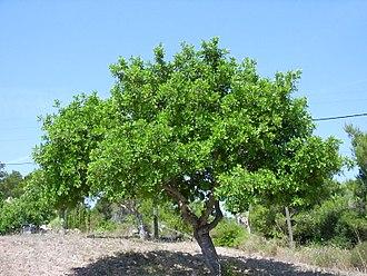 Ceratonia - Image: Ceratonia siliqua, total
