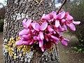 Cercis siliquastrum. Árbol (de) l'amor (flores y corteya).jpg