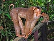 Cercopithecidae - Macaca nemastrina.jpg