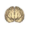 Cerebrum - supramarginal gyrus - anterior view.png