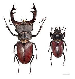 олень жук фото