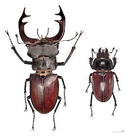 Pohlavní dimorfismus samce (vlevo) a samice roháče obecného (Lucanus cervus), který je největším broukem Evropy