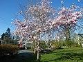 Cerisier en fleurs a chanteloup - panoramio.jpg