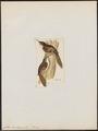 Certhia himalayana - 1820-1860 - Print - Iconographia Zoologica - Special Collections University of Amsterdam - UBA01 IZ19200363.tif