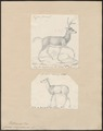Cervus virginianus - 1700-1880 - Print - Iconographia Zoologica - Special Collections University of Amsterdam - UBA01 IZ21500033.tif