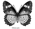Cethosia cyane ctb.png